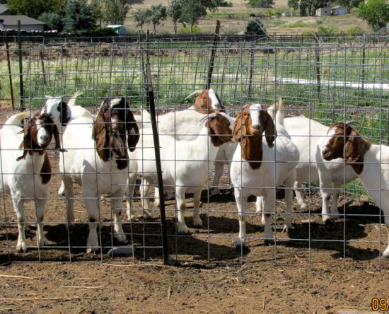 Goats waiting at the fence. RC is second from the left, in the front.